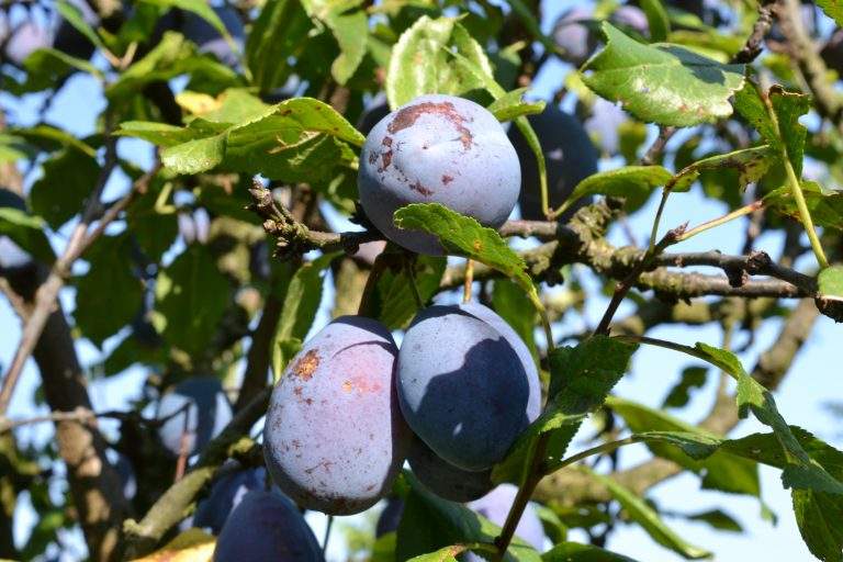A Guide to Growing a Plum Tree in Your Home