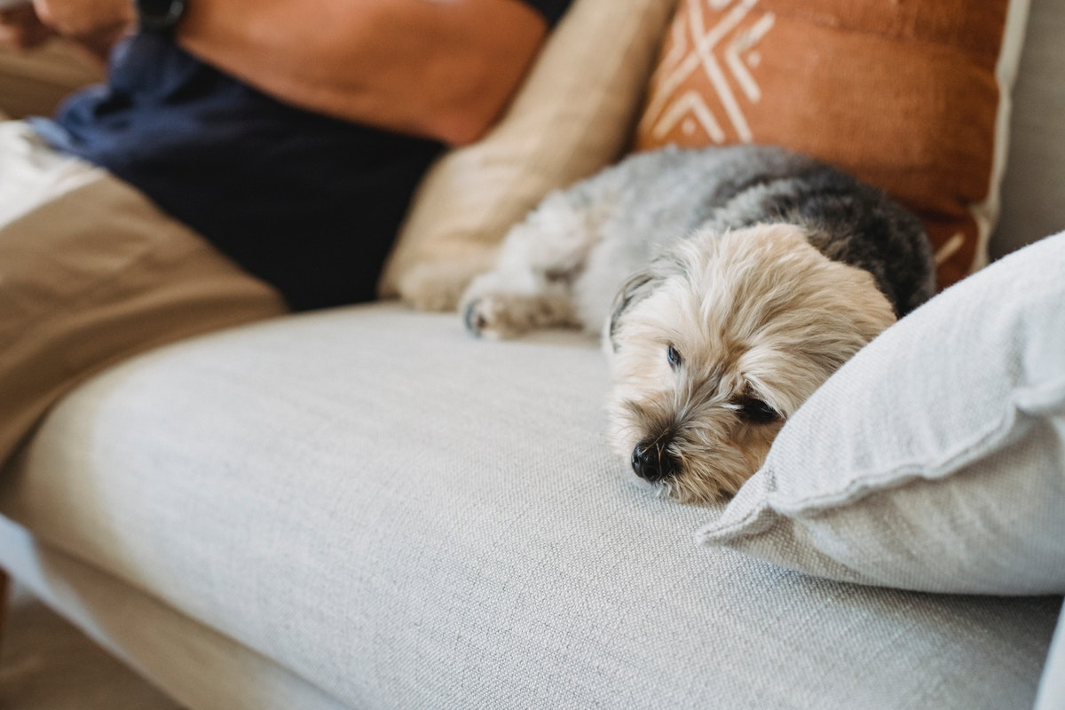 puppy on a couch